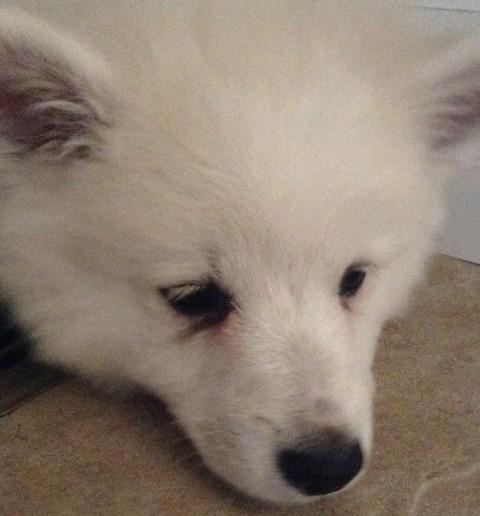 american-eskimo-milky-1-480x516 アメリカンエスキモードッグは可愛い犬?性格としつけ、価格は?