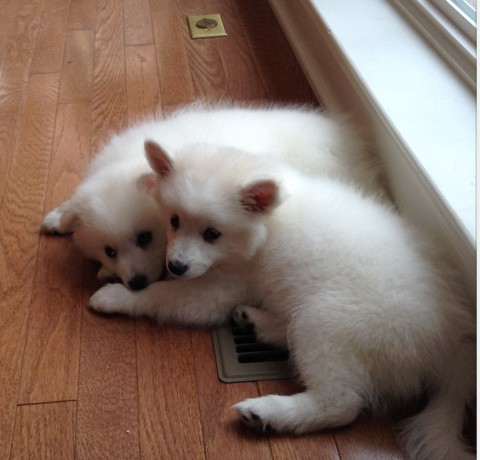 american-eskimo-milky-4-480x460 アメリカンエスキモードッグは可愛い犬?性格としつけ、価格は?