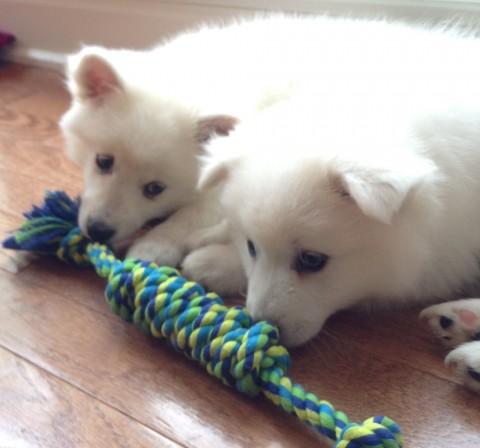 american-eskimo-milky-5-480x448 アメリカンエスキモードッグは可愛い犬?性格としつけ、価格は?