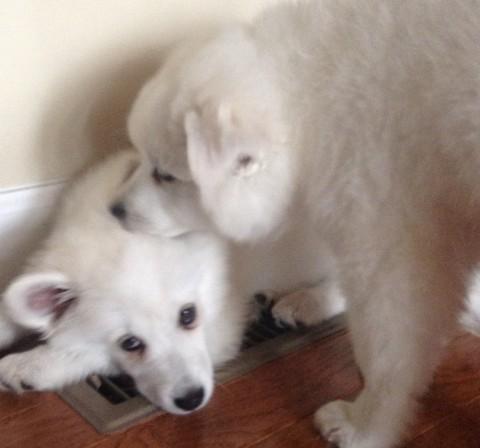 american-eskimo-milky-6-480x448 アメリカンエスキモードッグは可愛い犬?性格としつけ、価格は?