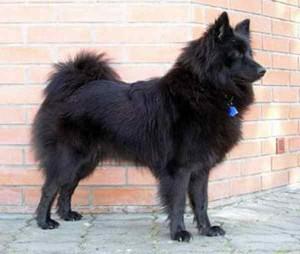 American-Eskimo-Dog-black-300x254 アメリカンエスキモードッグ、マル秘トップ情報公開!知って得!