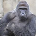 harambe-gorilla2